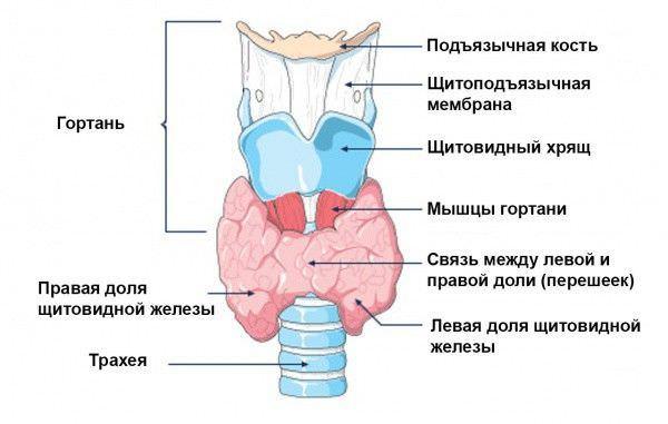 Близость железы и дыхательных путей определяет возможную клиническую картину при ее увеличении