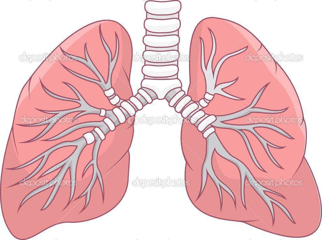 Легкие - важный орган человека