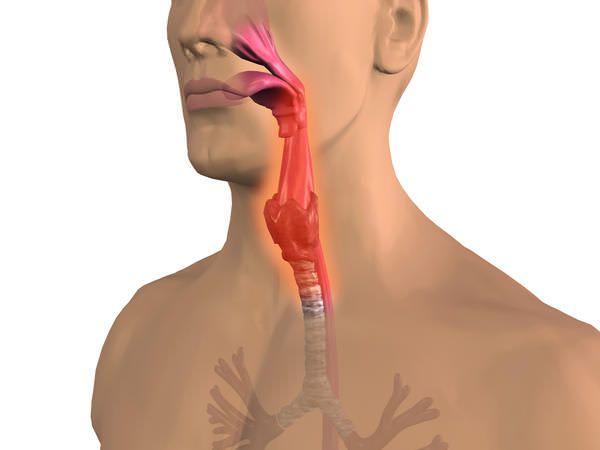 На фото дыхательные органы человека