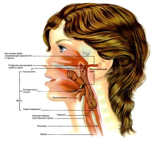 Строение носоглотки