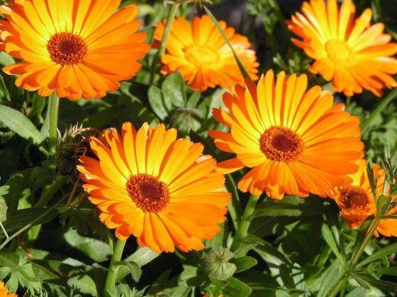 Цветки календулы, применяются в лечебных ингаляциях