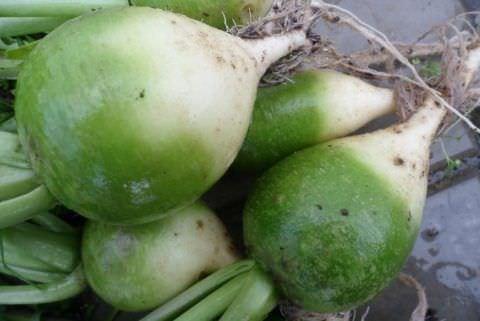 Зеленая редька - полезная и приятная на вкус