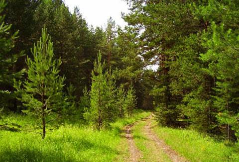 Особенно полезны хвойные леса