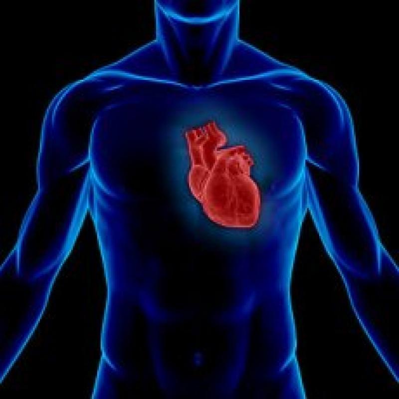 Сердце и легкие расположение